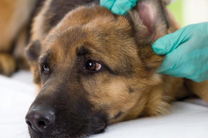 Dog Ear Infections: Symptoms, Causes, Treatment, and Prevention 2